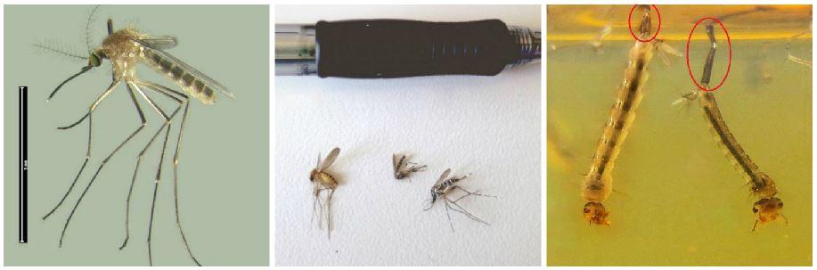 Adulto de mosquito común (Culex pipiens). Autor: Pete de Vries (CC); Adulto de mosquito común (izquierda) y dos adultos de mosquito tigre (derecha); El sifón de las larvas de mosquito tigre (izquierda) es más pequeño que el del mosquito común (derecha).