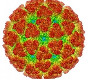 Virus Chikungunya. Wikipedia (CC BY-SA 3.0)