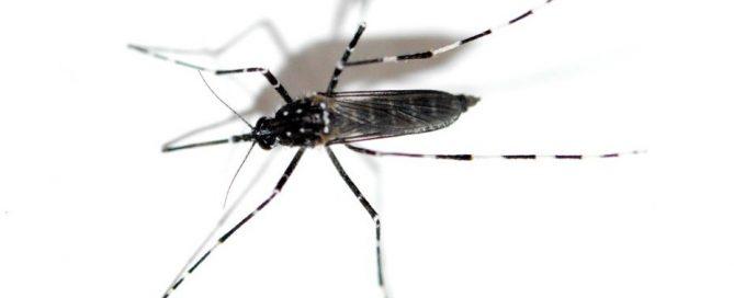 Aedes vittatus. Foto: El desinsectador - www.desinsectador.com