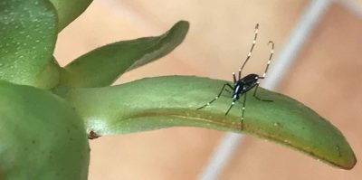 Mosquito tigre (Aedes albopictus). Mosquito Alert CC-BY