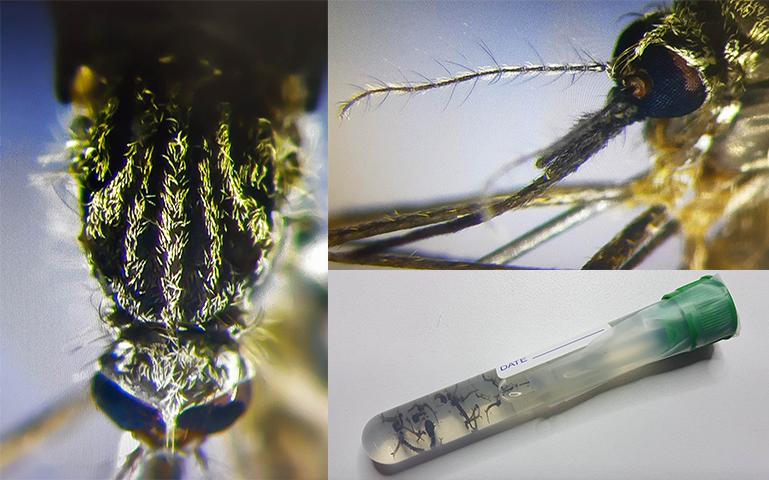 Fotos de un ejemplar de Aedes japonicus capturado en el lugar de la inspección. Foto: Roger Eritja