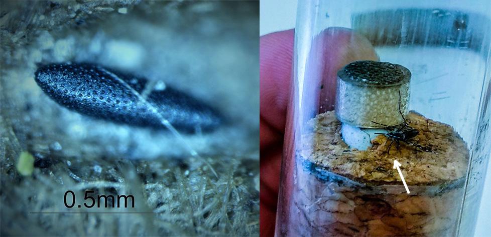 Huevo y adulto de mosquito tigre hallazgos por los investigadores de la UEX. Foto: UEX