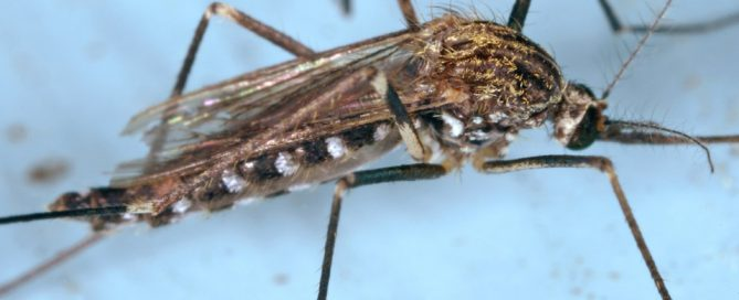 Aedes japonicus