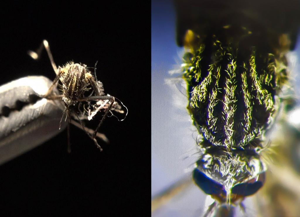Detalle Aedes japonicus Asturias Mosquito Alert 2018 2019 se busca
