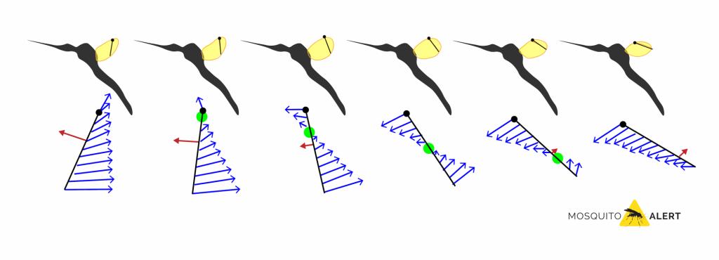 aerodinámica del vuelo de un mosquito tigre España