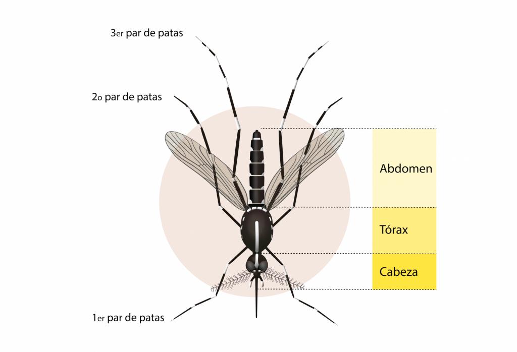 Partes del mosquito