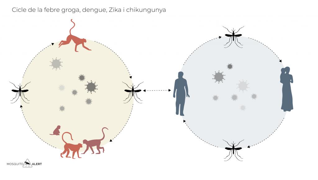 Cilce del dengue