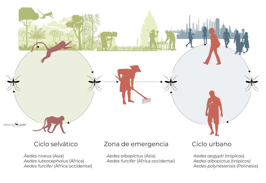 ciclo silvatico rural urbano del dengue