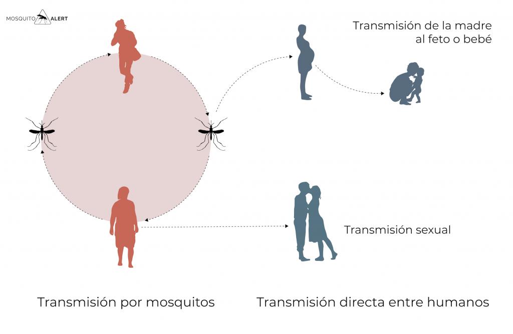Zika embarazo transmisión sexo Mosquito Alert