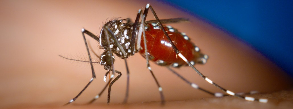 Female tiger mosquito (Aedes albopictus) sucking blood from a human. Photo: James Gathany, CDC