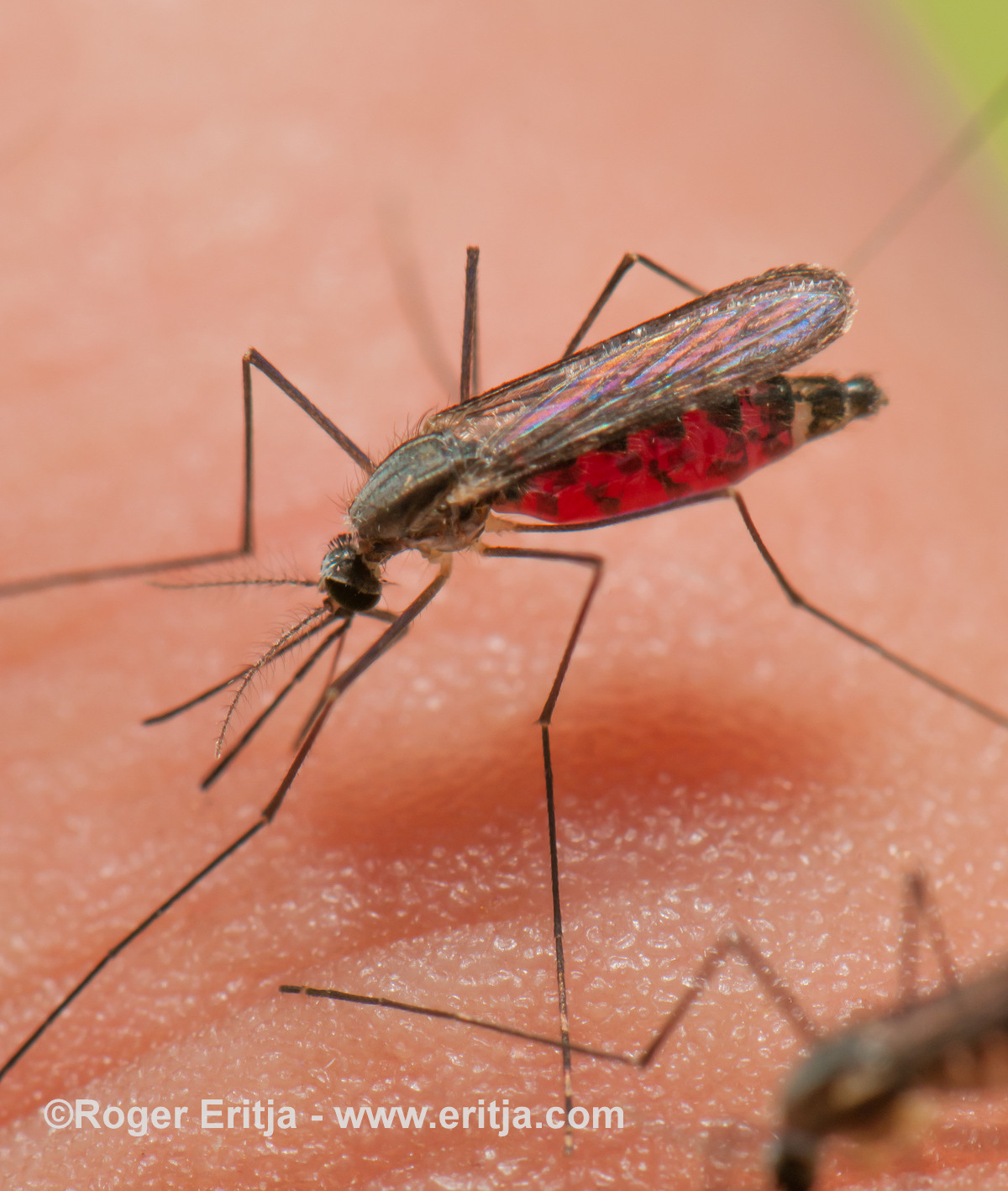 Anopheles plumbeus mosquito female biting on human skin