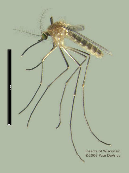 Adult common mosquito (Culex pipiens). Credit: Pete de Vries (CC)