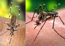 Canarias_Aedes