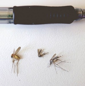 Adult common mosquito (left) and two adult tiger mosquitos (right).