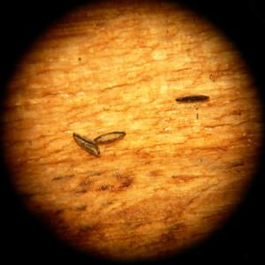 Huevos de mosquito tigre (Aedes albopictus). Wikipedia CC