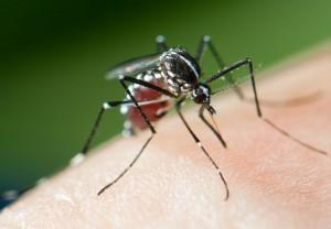 Mosquito Tigre (Aedes albopictus). Foto: Roger Eritja (C)