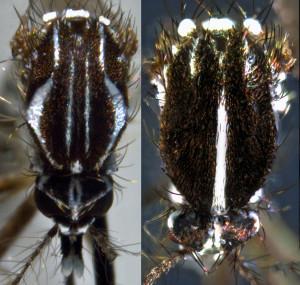 Izquierda: Ae.aegypti. Derecha: Ae.albopictus. Autor:Vincent Robert (CC BY 2.0)